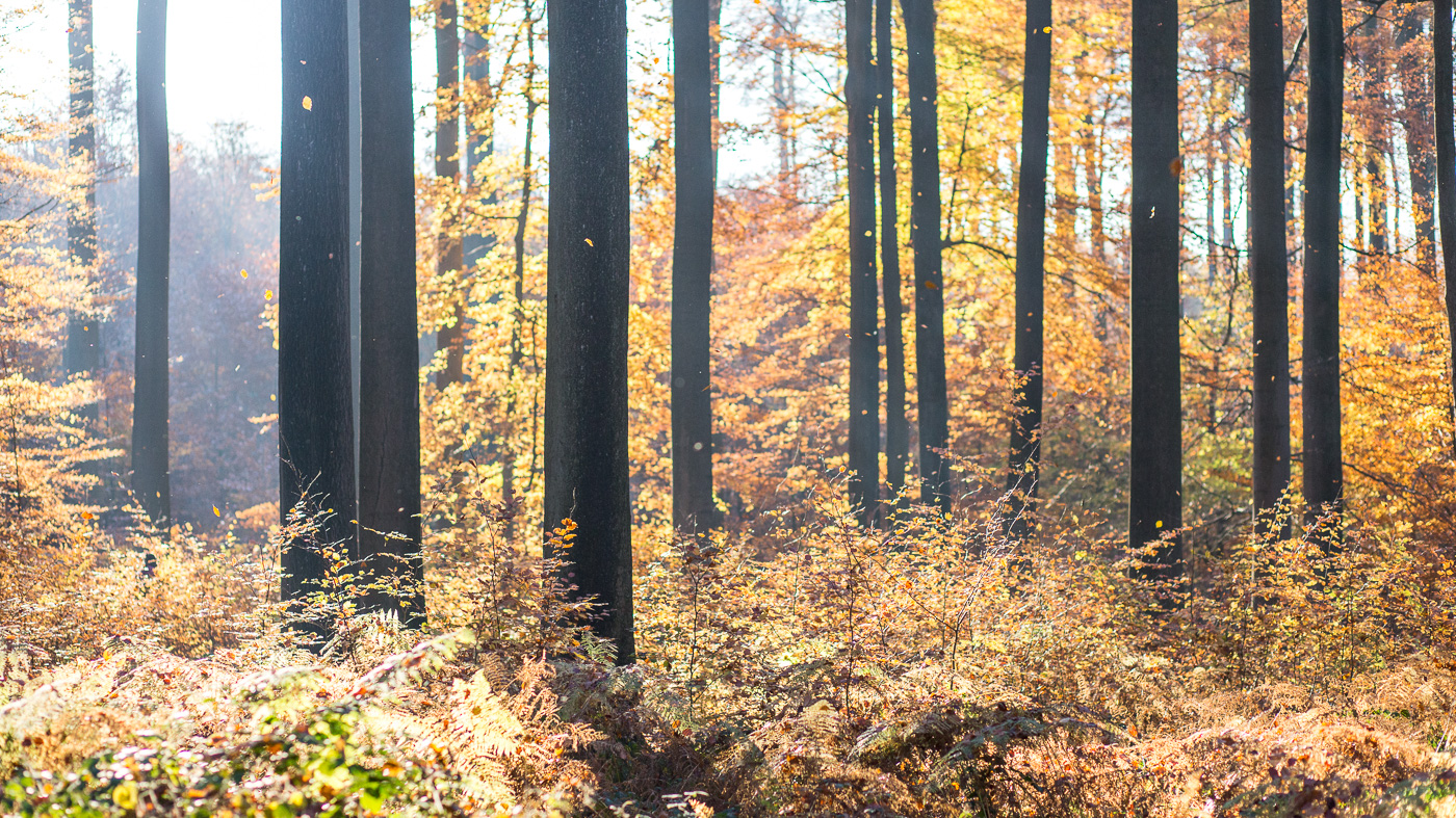 Fall colors in the forest around Louvain-la-Neuve